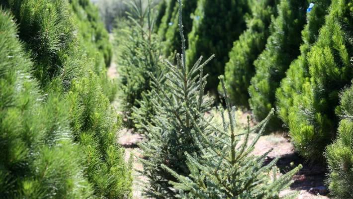 живая новогодняя елка